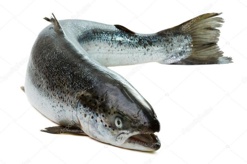 Salmone pesce fresco intero